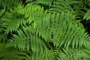 Ferns clean the air in your home