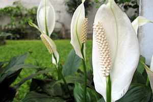 Peace Lilies clean the air in your home