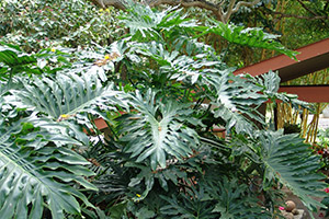 Philodendrons clean the air in your home