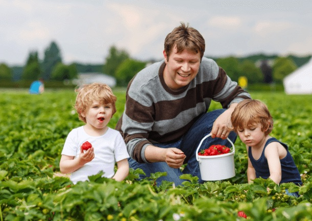 family picking strawberries