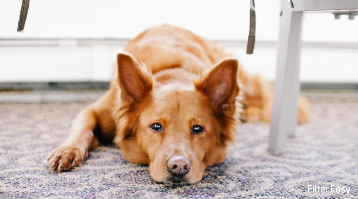 How To Get Rid Of Pet Dander From Carpet Carpet Vidalondon