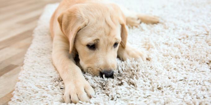 Pet dander gets caught in the carpet.